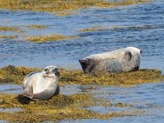 Seals at lowtide inHestfjörður